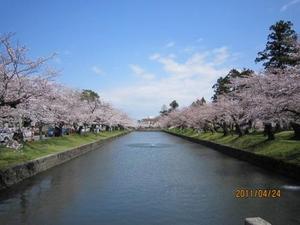 桜満開鶴岡公園2.JPG